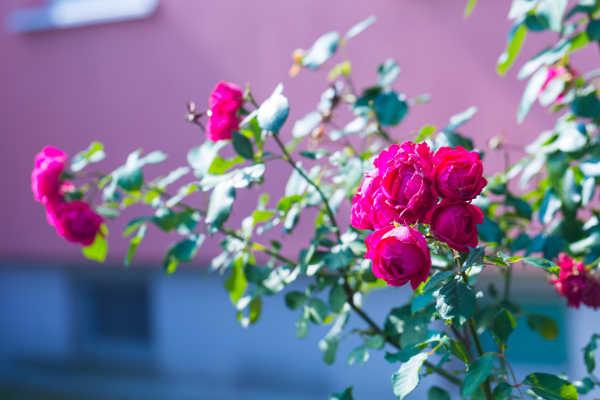 BigYellowBag Black Garden Soil Roses