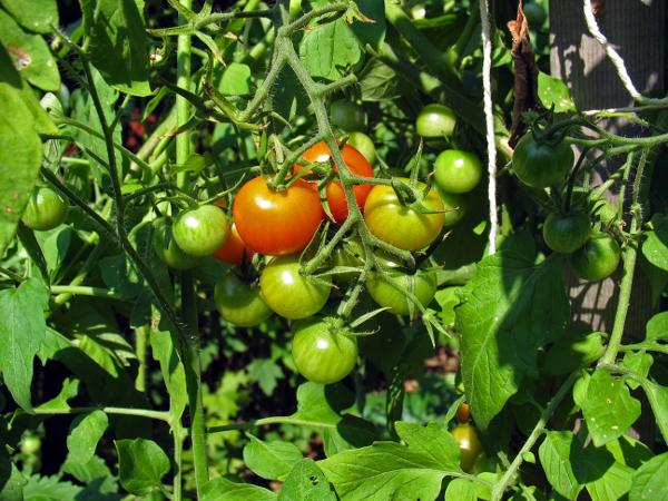 Easily Grown Vegetables BigYellowBag Black Garden Soil Tomato