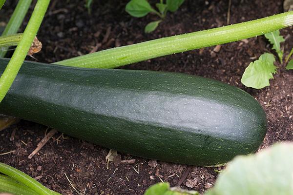 zucchini BigYellowBag Black Garden Soil