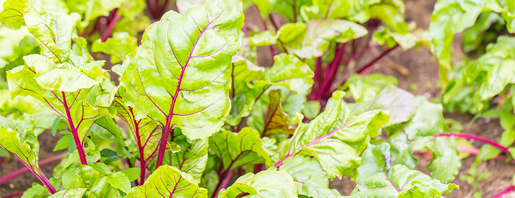 Swiss Chard BigYellowBag Black Garden Soil